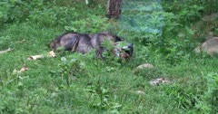 4K UltraHD Dark Grey Wolf, Canis lupus, gnawing on a bone