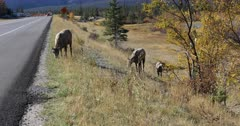 Bighorn Sheep, Ovis canadensis, by roadside in Rocky Mountains 4K