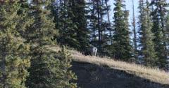Bighorn Sheep, Ovis canadensis, feeding on hilltop 4K