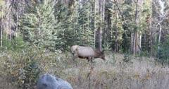 Elk, Cervus canadensis, in forest in Rocky Mountains 4K