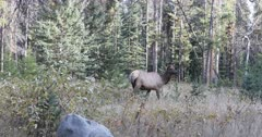 Elk, Cervus canadensis, in woodlands in Rocky Mountains 4K
