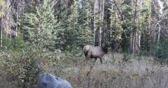 Elk, Cervus canadensis, in Rocky Mountains 4K