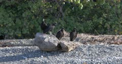 Group of Black Vultures, Coragyps atratus, loafing 4K