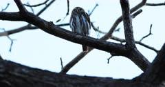 Ferruginous Pygmy Owl, Glaucidium brasilianum, resting in a tree 4K