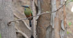 Turquoise-Browed Motmot, Eumomota superciliosa, in Costa Rica 4K