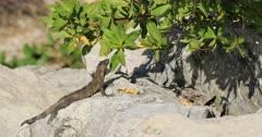 Juvenile Green Iguana, Iguana iguana, loafing in the sun 4K