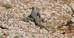Female Green Iguana, Iguana iguana, in Costa Rica 4K