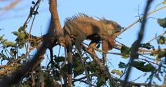 Green Iguana, Iguana iguana, sleeping in a tree 4K