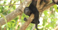 View of Mantled Howler Monkey, Alouatta palliata 4K