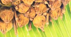 Tent-making Bats, Uroderma bilobatum, roosting under a large leaf 4K