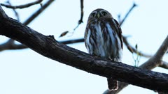 Close view of Ferruginous Pygmy Owl, Glaucidium brasilianum