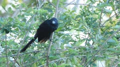 Groove-billed Ani, Crotophaga sulcirostris, from Costa Rica