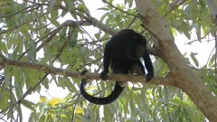 Mantled Howler Monkey, Alouatta palliata, loafing in a tree
