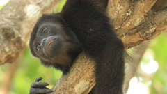 Portrait of Mantled Howler Monkey, Alouatta palliata