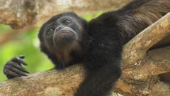 Portrait of Mantled Howler Monkey, Alouatta palliata, in Costa Rica