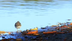 Spotted Sandpiper, Actitis macularius, from Costa Rica