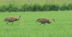 Pair of Sandhill Cranes, Grus canadensis, feeding with chick 4K