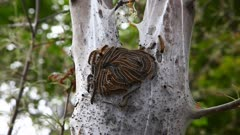 Eastern Tent Caterpillar, Malacosoma americanum, hatch