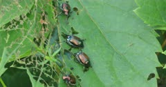 Japanese Beetles, Popillia japonica, invasive and destructive in North America 4K