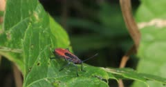 Red-shouldered Bug, Jadera haematoloma, on a leaf 4K