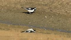 Australian Magpie-Lark, Grallina cyanoleuca, catching insects