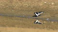 Australian Magpie-Lark, Grallina cyanoleuca, chasing insects