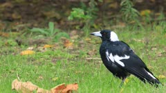 Australian Magpie, Cracticus tibicen, close view on ground