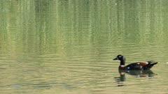 Male Australian Shelduck, Tadorna tadornoides, swimming