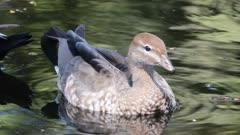 Female Australian Wood Duck, Chenonetta jubata, swimming