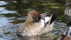 Female Australian Wood Duck, Chenonetta jubata, preening