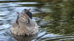 Female Australian Wood Duck, Chenonetta jubata, on pond
