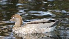 Female Australian Wood Duck, Chenonetta jubata, relaxing