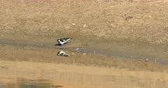 Australian Magpie-Lark, Grallina cyanoleuca, chasing insects 4K