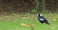 Australian Magpie, Cracticus tibicen, on ground 4K