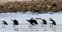 Australian Pelican, Pelecanus conspicillatus, group resting 4K