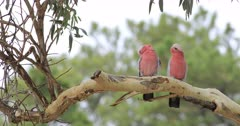 Pair of Galah, Eolophus roseicapilla, perched 4K
