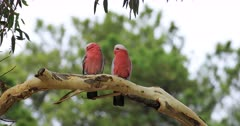 Pair of Galah, Eolophus roseicapilla, perched on branch 4K