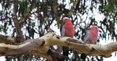 Galah pair, Eolophus roseicapilla, perched in tree 4K