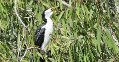 Little Pied Cormorant, Microcarbo melanoleucos, relaxed 4K