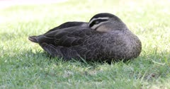 Pacific Black Duck, Anas superciliosa, relaxing 4K