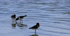 Group of Pied Oystercatcher, Haematopus longirostris 4K