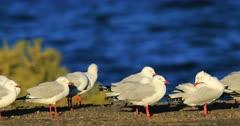 Group of Silver Gull, Chroicocephalus novaehollandiae 4K