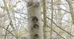 Eastern Screech Owl, Megascops asio, roosting in tree 4K