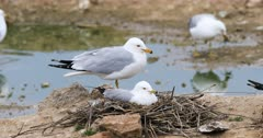 Ring-billed Gull, Larus delawarensis, pair at nest 4K