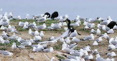 Colony of Ring-billed Gull, Larus delawarensis 4K