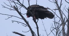 Turkey vulture, Cathartes aura, perching in tree 4K