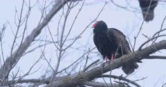 Turkey vulture, Cathartes aura, perched in tree 4K