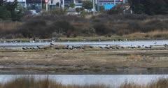 Flock of Pied Stilt, Himantopus leucocephalus 4K