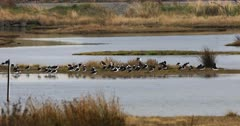 Pied Stilt, Himantopus leucocephalus, in wetlands 4K