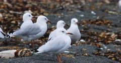 Silver Gull, Chroicocephalus novaehollandiae, on sand 4K